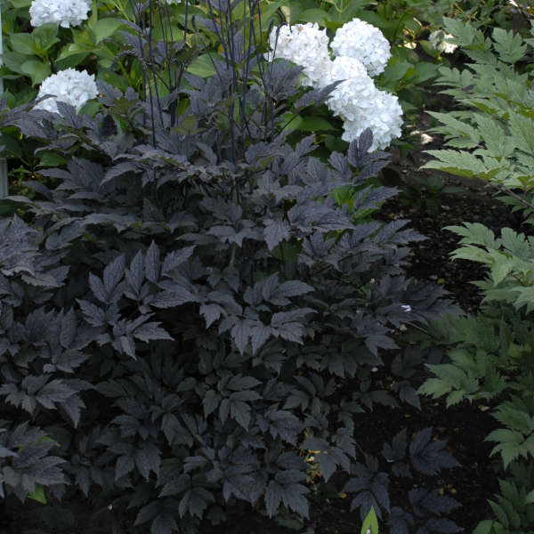 Cimicifuga 'Hillside Black Beauty' Black Snakeroot