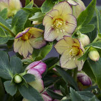 Helleborus 'Tropical Sunset'