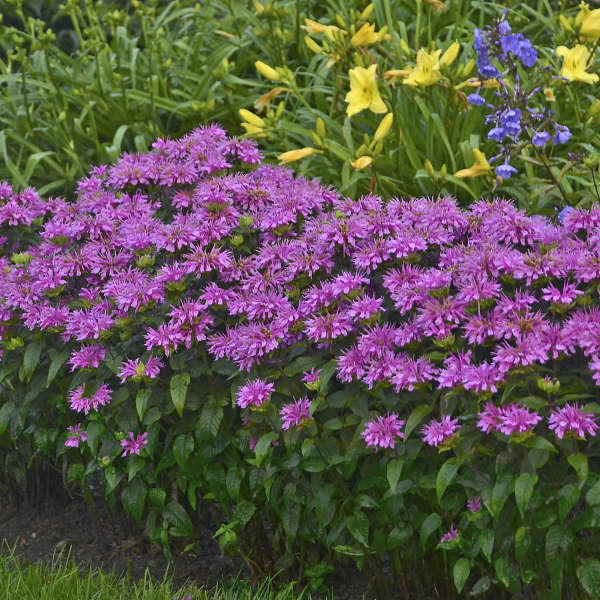 Monarda 'Lilac Lollipop' Bee Balm