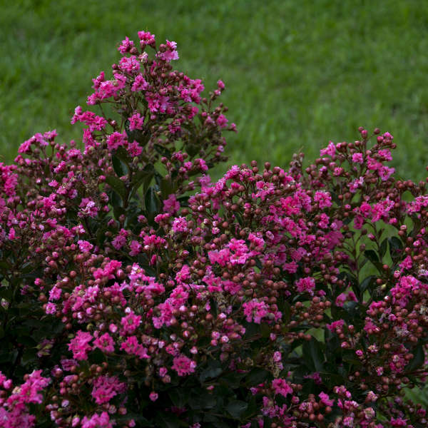 Lagerstroemia 'Cool Beans' Crapemyrtle