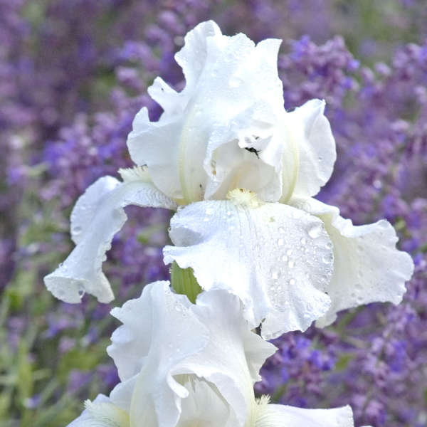 Iris 'Immortality' Tall Bearded Iris