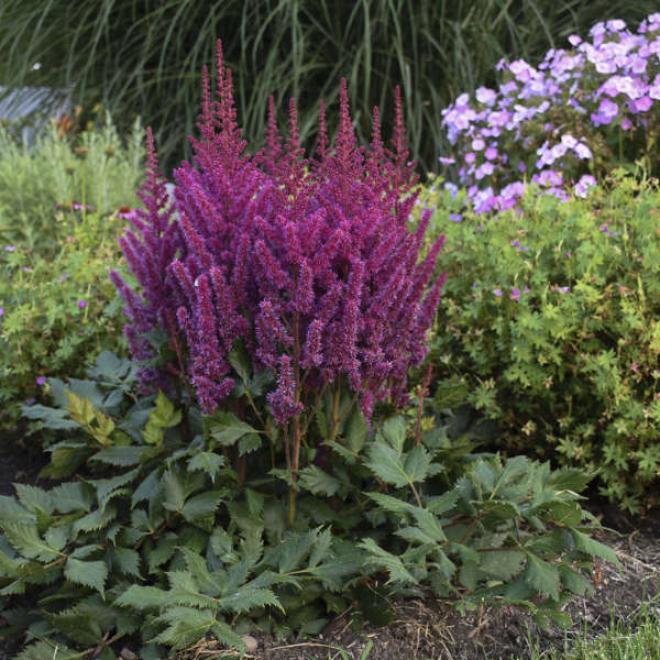 Astilbe 'Visions' Chinese Astilbe