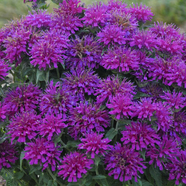 Monarda 'Grape Gumball' Bee Balm