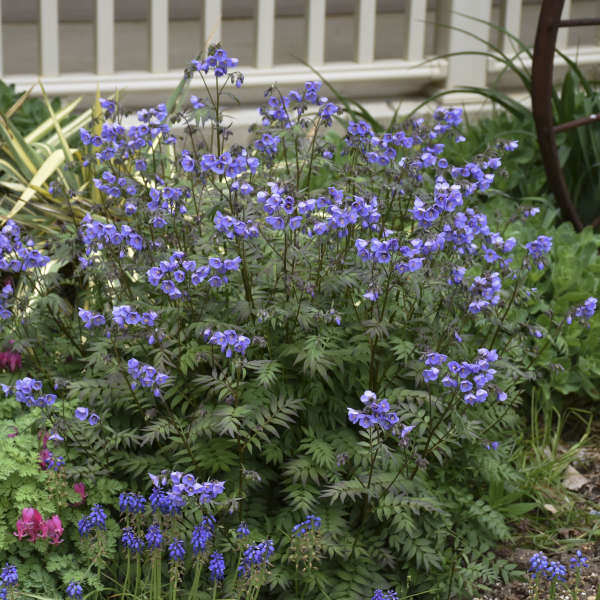 Polemonium 'Heaven Scent' Jacob's Ladder