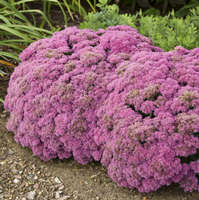 Sedum 'Powderpuff'
