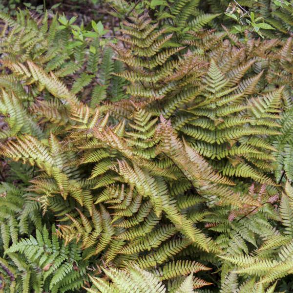 Dryopteris 'Brilliance' Autumn Fern
