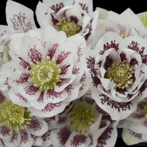 Growing Hellebores Those Lovely Harbingers Of Spring: Helleborus 'Confetti Cake'