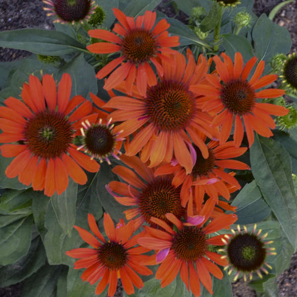 Echinacea Atomic Orange Ppaf Walters Gardens Inc