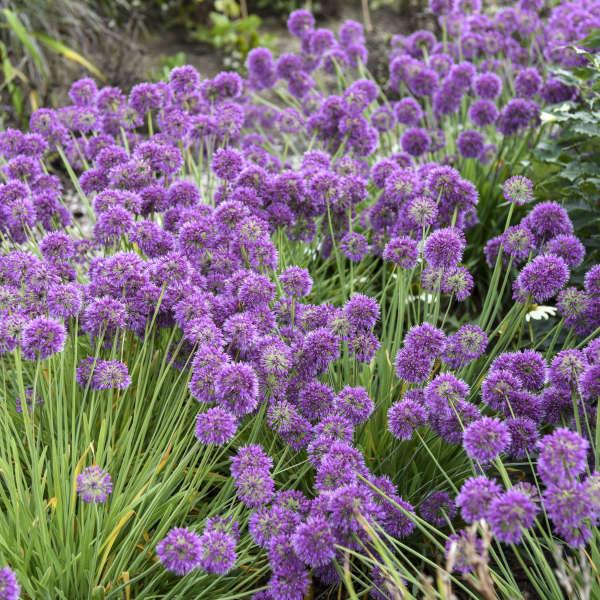 Allium 'Lavender Bubbles' Ornamental Onion