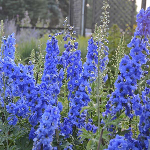 Delphinium 'Cobalt Dreams' Hybrid Bee Delphinium