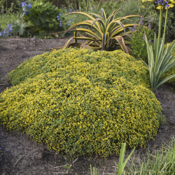 Sedum 'Yellow Brick Road' Stonecrop