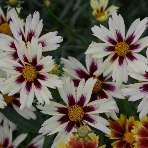 Coreopsis 'Starlight' Tickseed