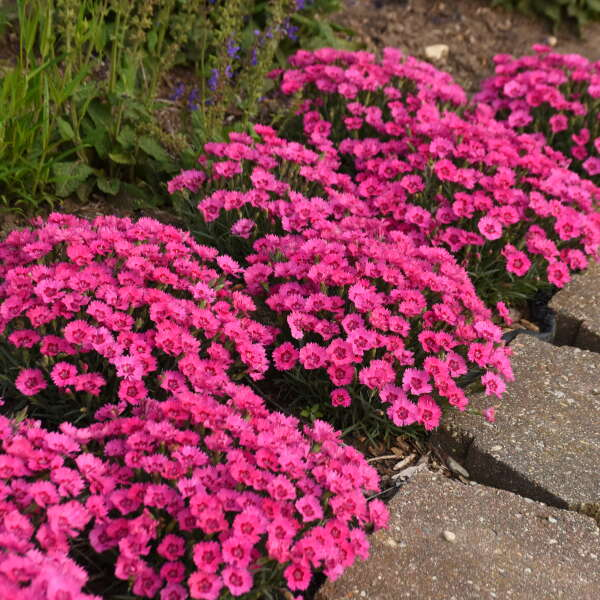 Dianthus 'Paint the Town Fancy' Pinks