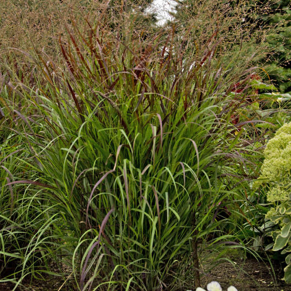 Panicum 'Cheyenne Sky' Red Switch Grass