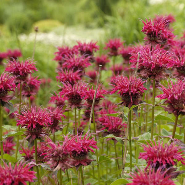 Monarda 'Raspberry Wine' Bee Balm
