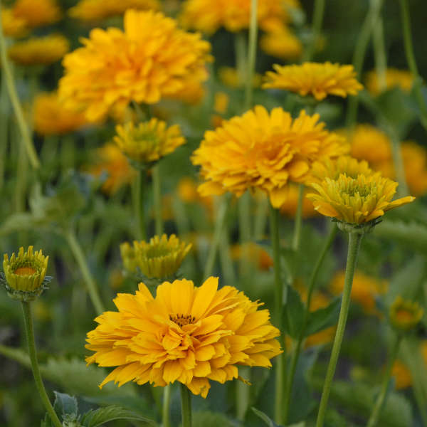 Heliopsis 'Summer Sun' False Sunflower