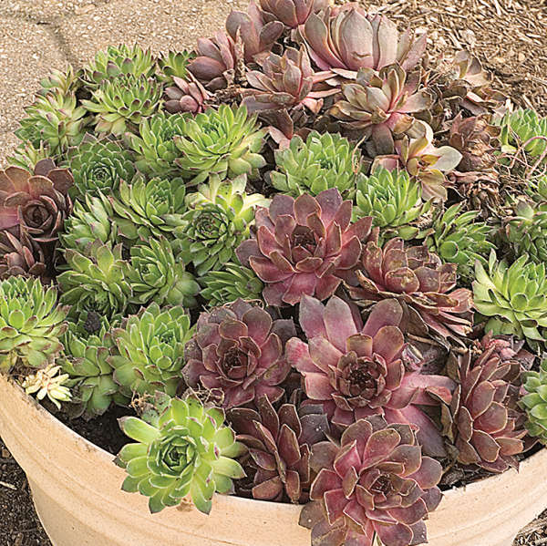 Sempervivum Assorted Hen & Chicks