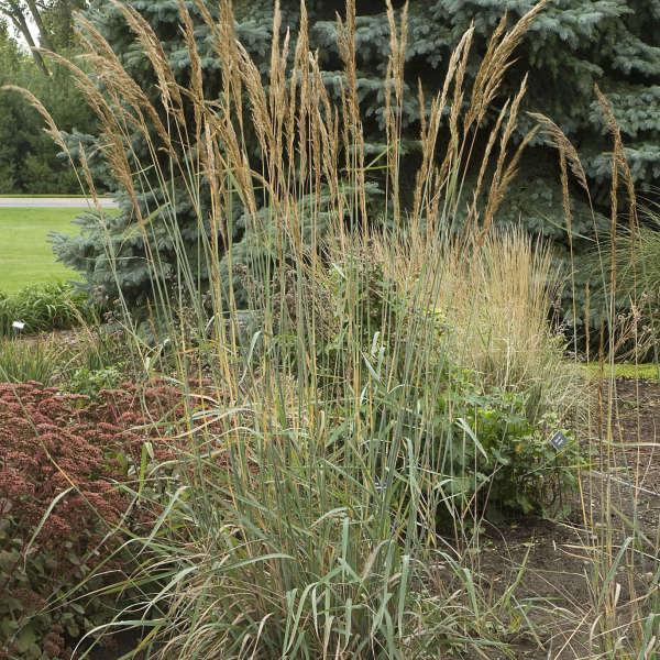 Sorghastrum 'Sioux Blue' Blue Indian Grass