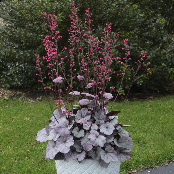 Heuchera silver gumdrop pp29207 cpbraf walters gardens inc download images mightylinksfo Image collections