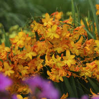 Crocosmia 'Walberton Yellow'