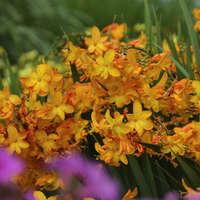 Crocosmia 'Walberton Yellow'