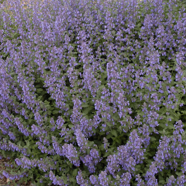 Nepeta 'Walker's Low' Catmint