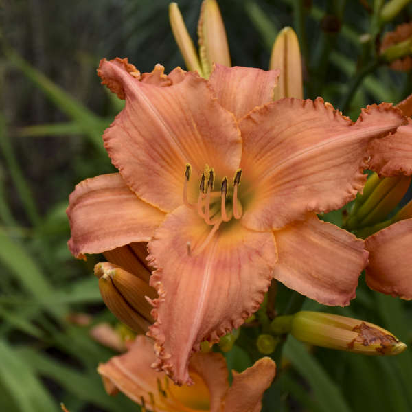 Hemerocallis 'New Tangerine Twist' Daylily