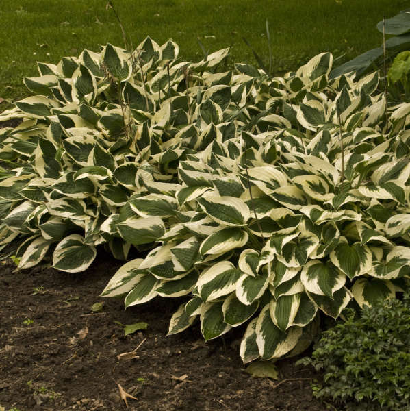 Hosta Patriot Walters Gardens Inc