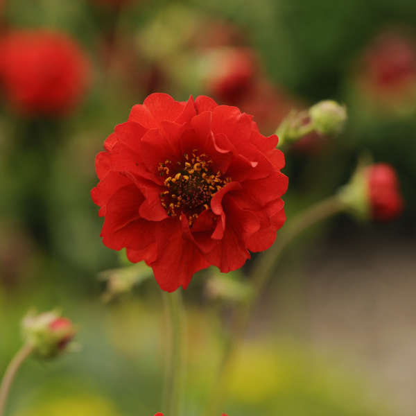 Geum 'Blazing Sunset' Avens