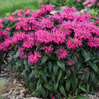 Monarda 'Berry Taffy'