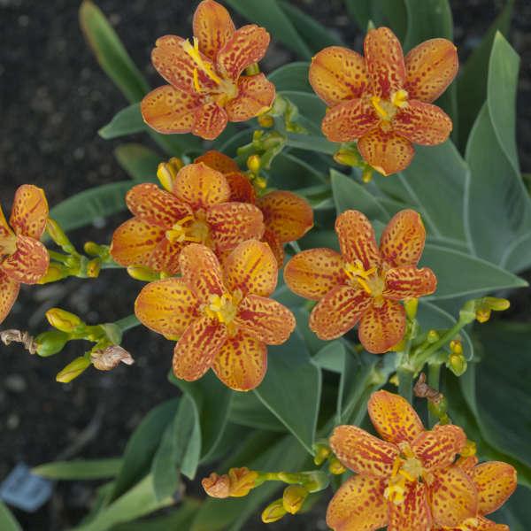 Belamcanda 'Freckle Face' Blackberry Lily