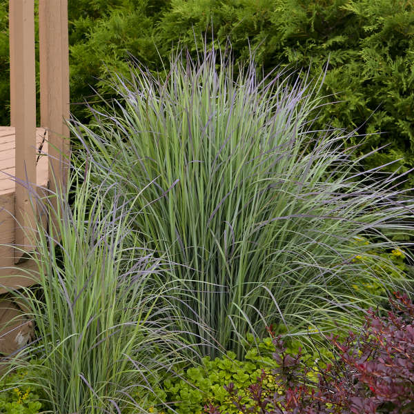 Schizachyrium 'Twilight Zone' Little Bluestem