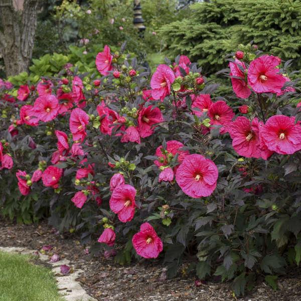 Hibiscus 'Evening Rose' Rose Mallow