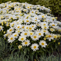 Leucanthemum 'Spoonful of Sugar'