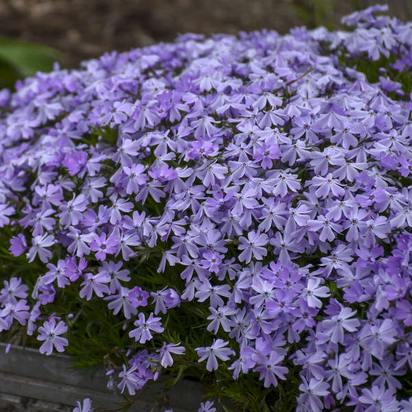 Phlox 'Blue Emerald' Creeping Phlox
