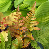 Dryopteris 'Brilliance'