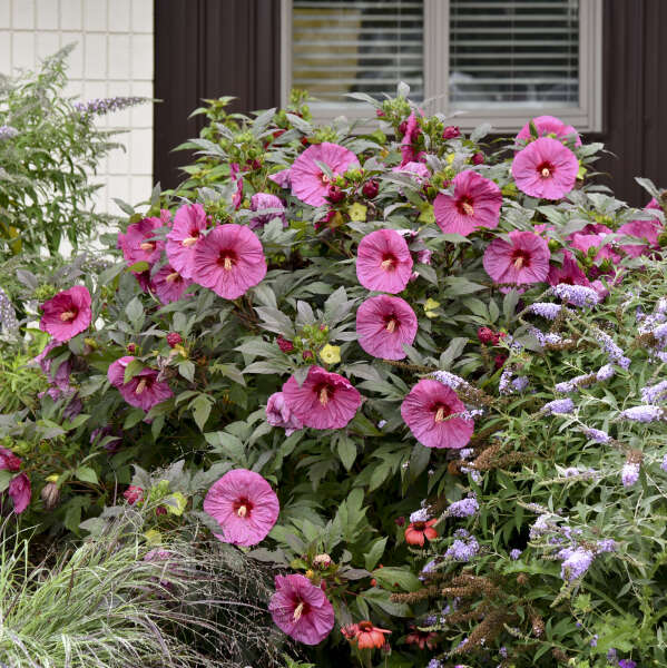 Hibiscus 'Berry Awesome' Rose Mallow