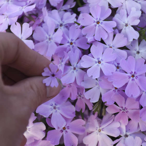 Phlox 'Pink Sparkles' Hybrid Creeping Phlox