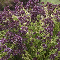 Origanum 'Drops of Jupiter'