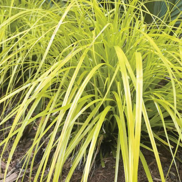 Carex 'Everillo' Japanese Sedge