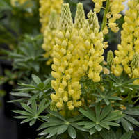 Lupinus MINI GALLERY&#8482 Series - Yellow