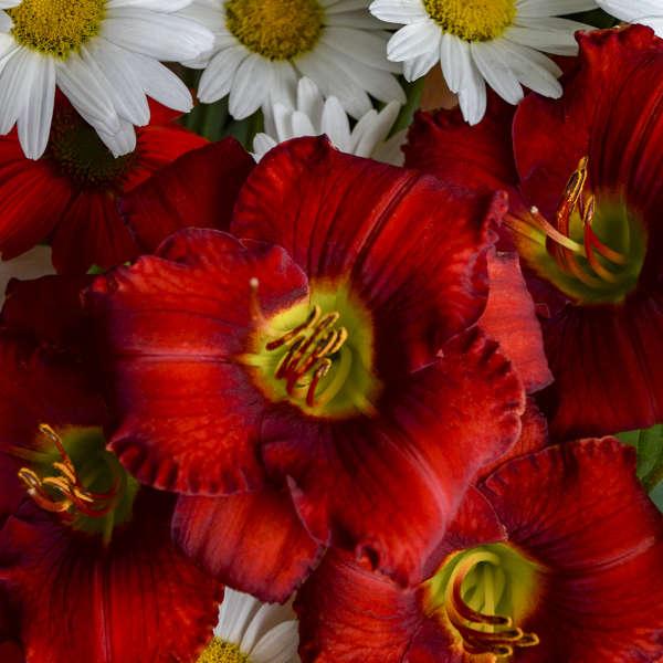 Hemerocallis 'Funny Valentine' Daylily