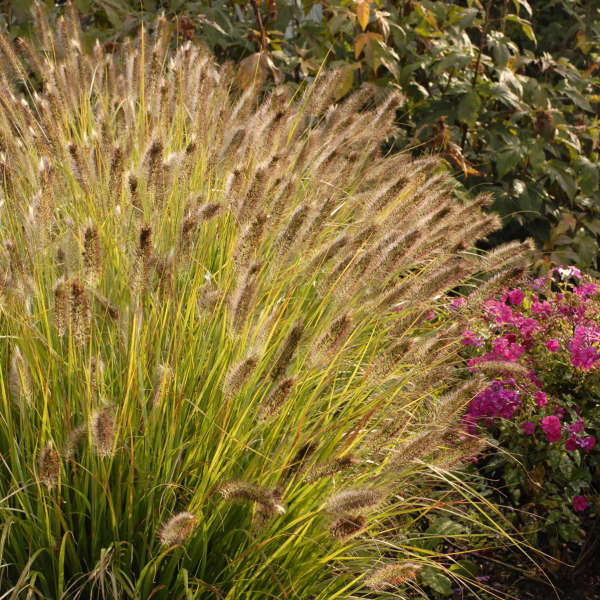 Pennisetum 'Desert Plains' Fountain Grass