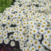 Leucanthemum 'Whoops-a-Daisy'