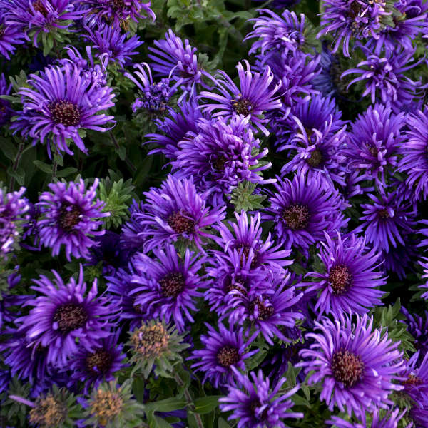 Aster 'Grape Crush' New England Aster