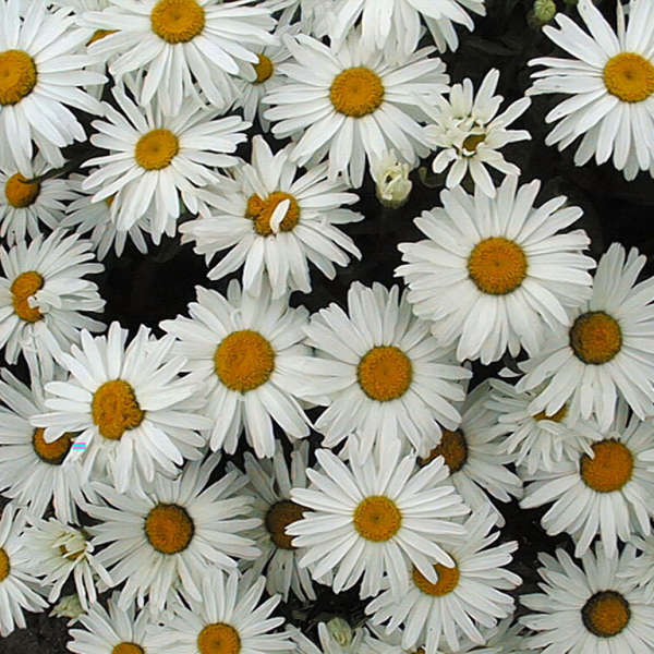 Leucanthemum 'Little Princess' Shasta Daisy
