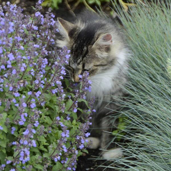 Nepeta 'Purrsian Blue' Catmint