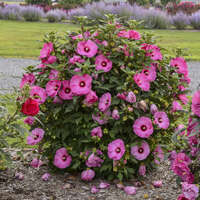 Hibiscus 'Candy Crush'