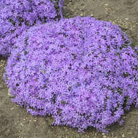 Phlox 'Bedazzled Orchid'