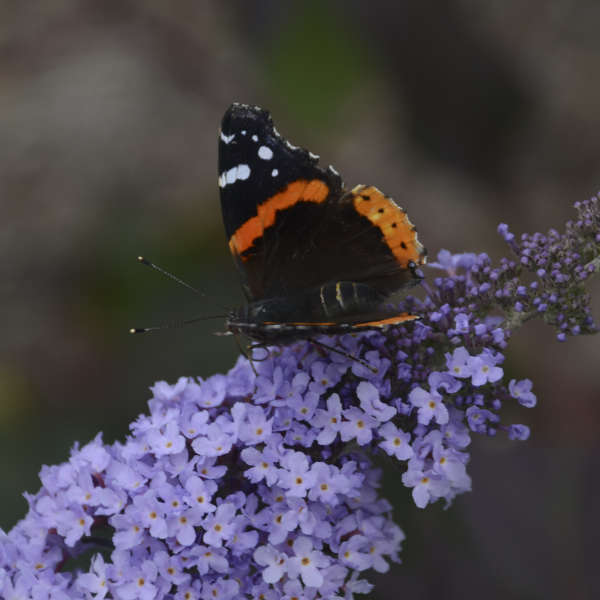 Buddleia 'Glass Slippers' Butterfly Bush